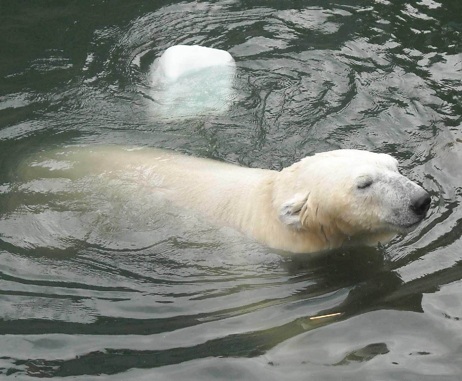 Белый медведь - Ursus maritimus  (фото 8529)