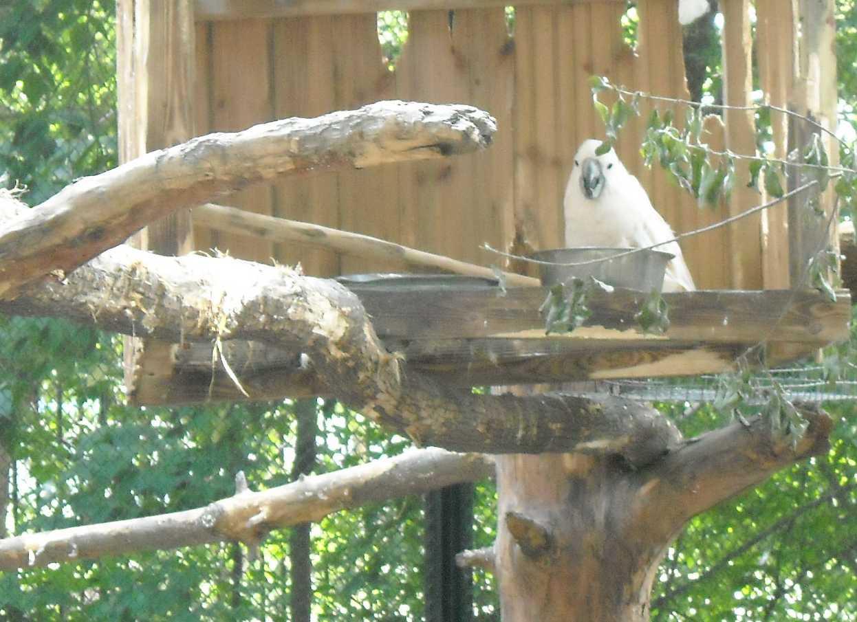 Молуккский какаду - Cacatua moluccensis  (фото 8605)