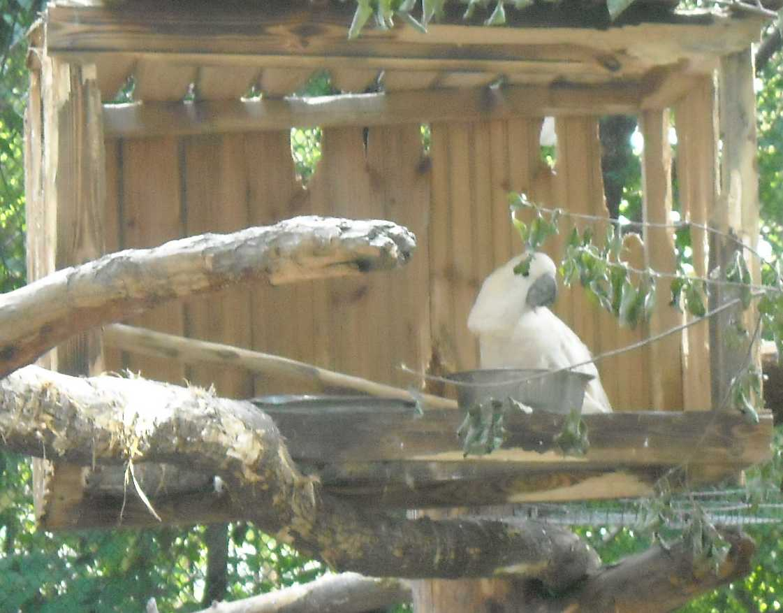Молуккский какаду - Cacatua moluccensis  (фото 8606)