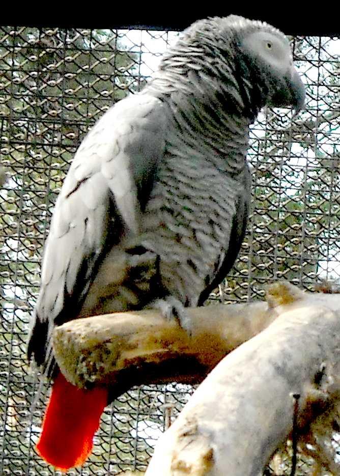 Жако краснохвостый - Psittacus erithacus erithacus  (фото 8650)