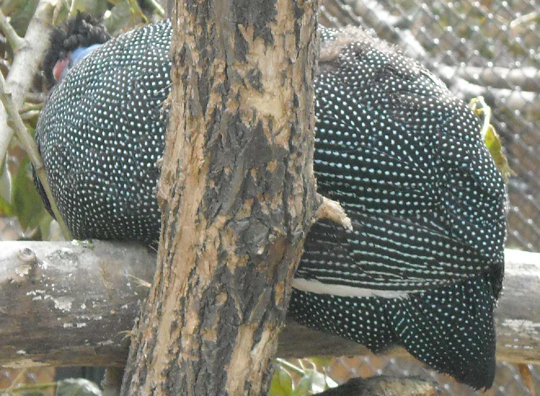 Чубатая цесарка - Guttera pucherani  (фото 8652)