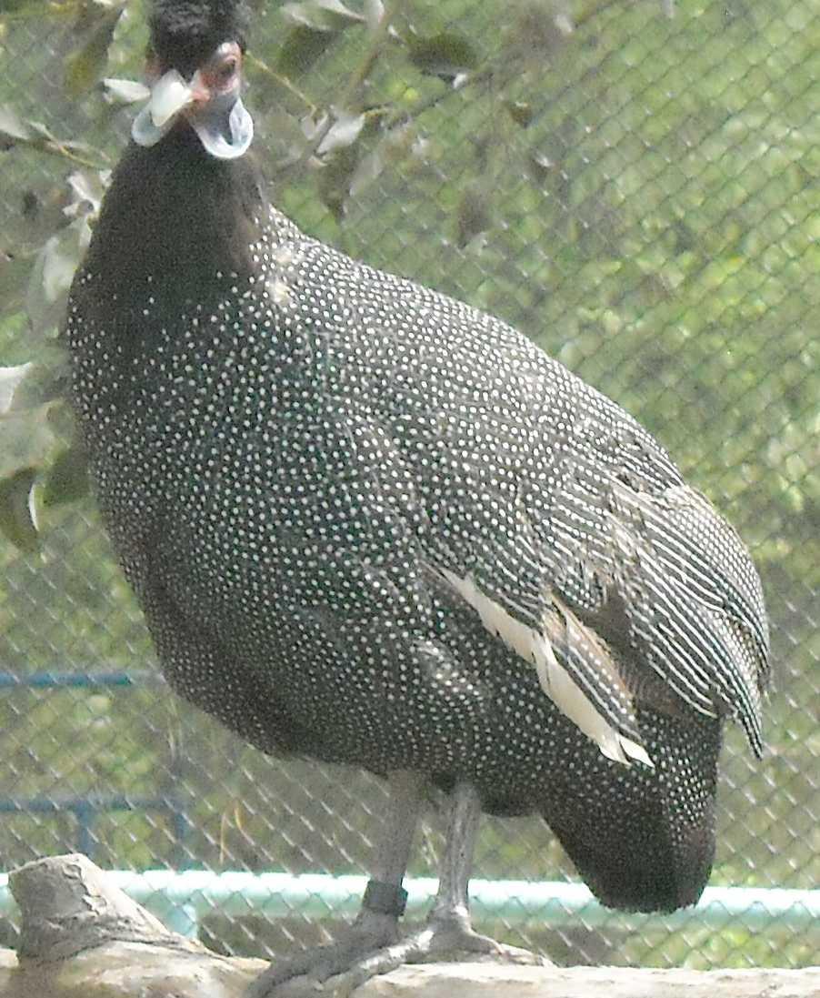Чубатая цесарка - Guttera pucherani  (фото 8654)