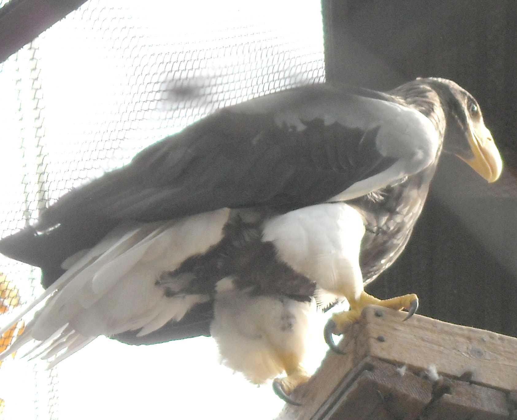 Орлан белоплечий - Haliaeetus pelagicus  (фото 8668)