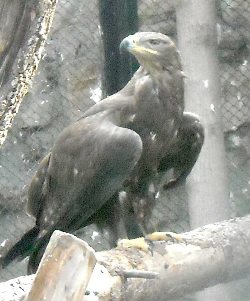Степной орел - Aquila rapax  (фото 8681)
