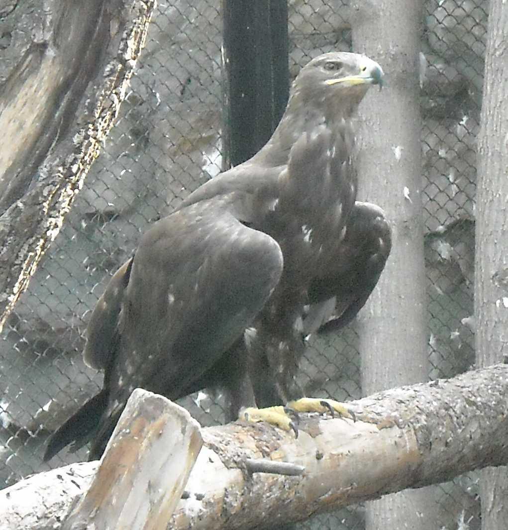 Степной орел - Aquila rapax  (фото 8682)