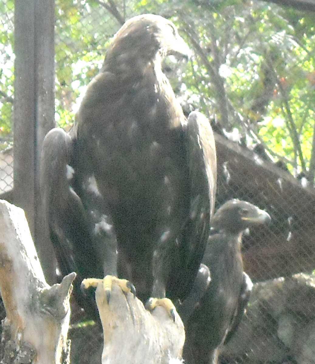 Степной орел - Aquila rapax  (фото 8683)