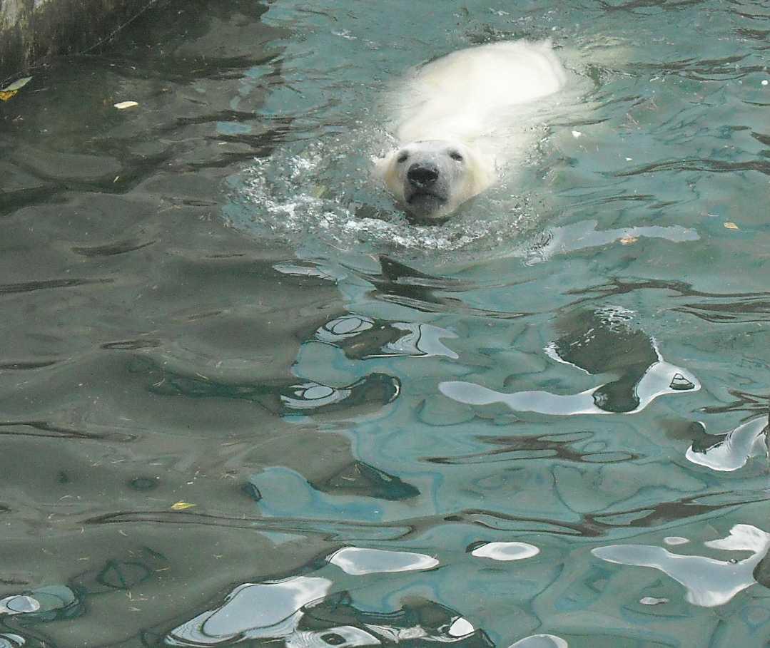 Белый медведь - Ursus maritimus  (фото 8721)
