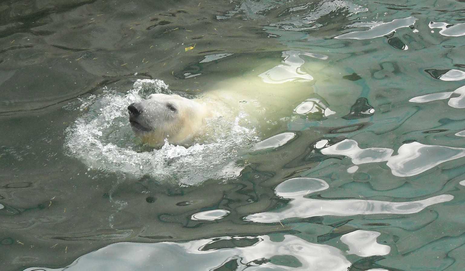 Белый медведь - Ursus maritimus  (фото 8722)
