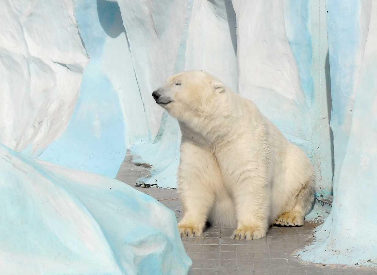 Белый медведь - Ursus maritimus  (фото 8723)