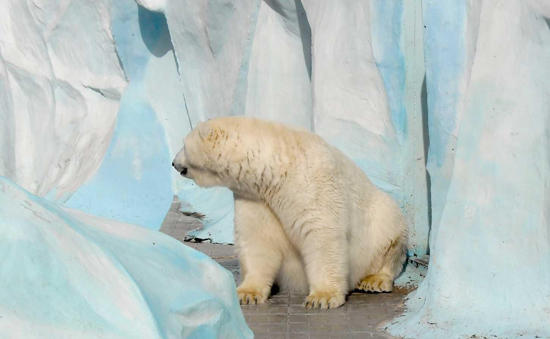 Белый медведь - Ursus maritimus  (фото 8724)