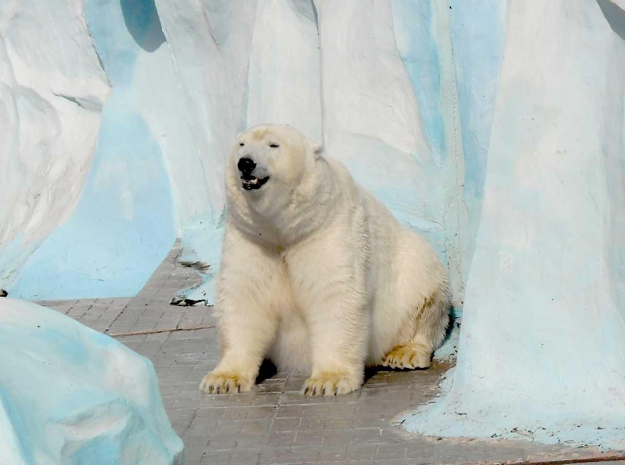 Белый медведь - Ursus maritimus  (фото 8725)