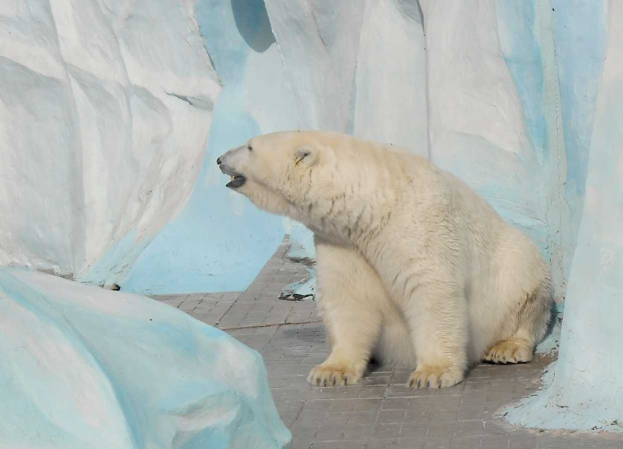 Белый медведь - Ursus maritimus  (фото 8726)