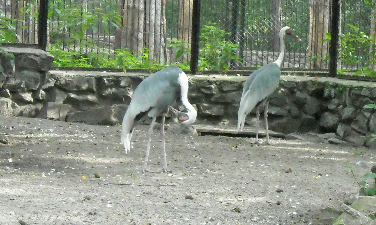 Даурский журавль - Grus vipio  (фото 8753)