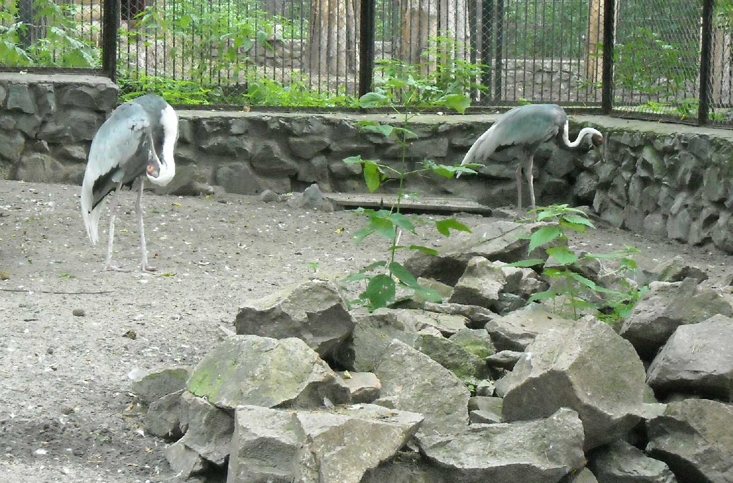 Даурский журавль - Grus vipio  (фото 8754)