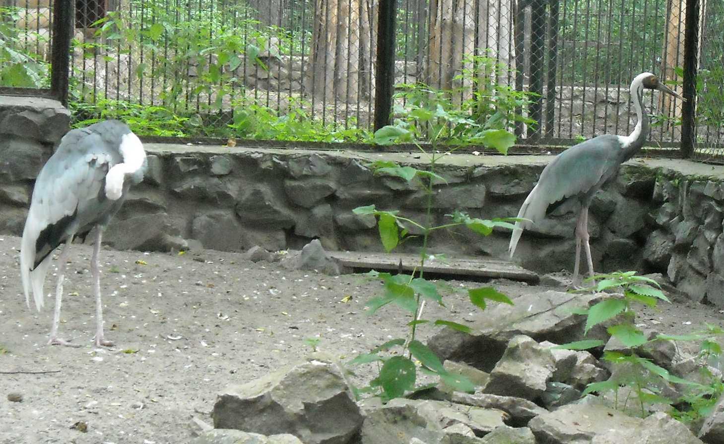 Даурский журавль - Grus vipio  (фото 8755)