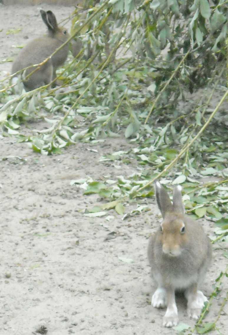 Заяц-беляк - Lepus timidus  (фото 8780)