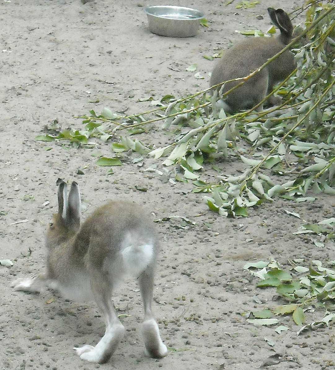Заяц-беляк - Lepus timidus  (фото 8781)