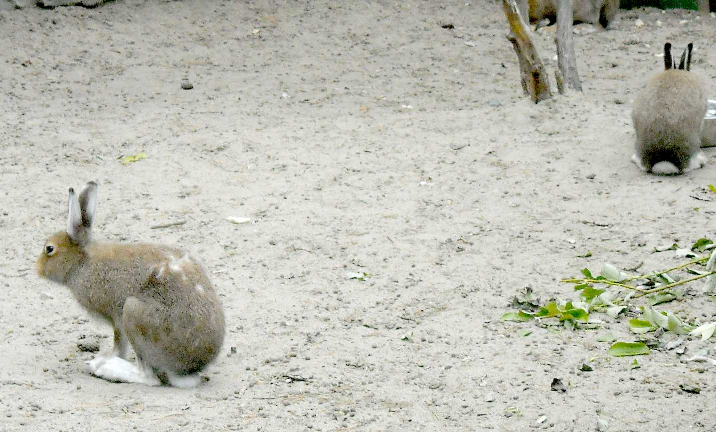 Заяц-беляк - Lepus timidus  (фото 8782)