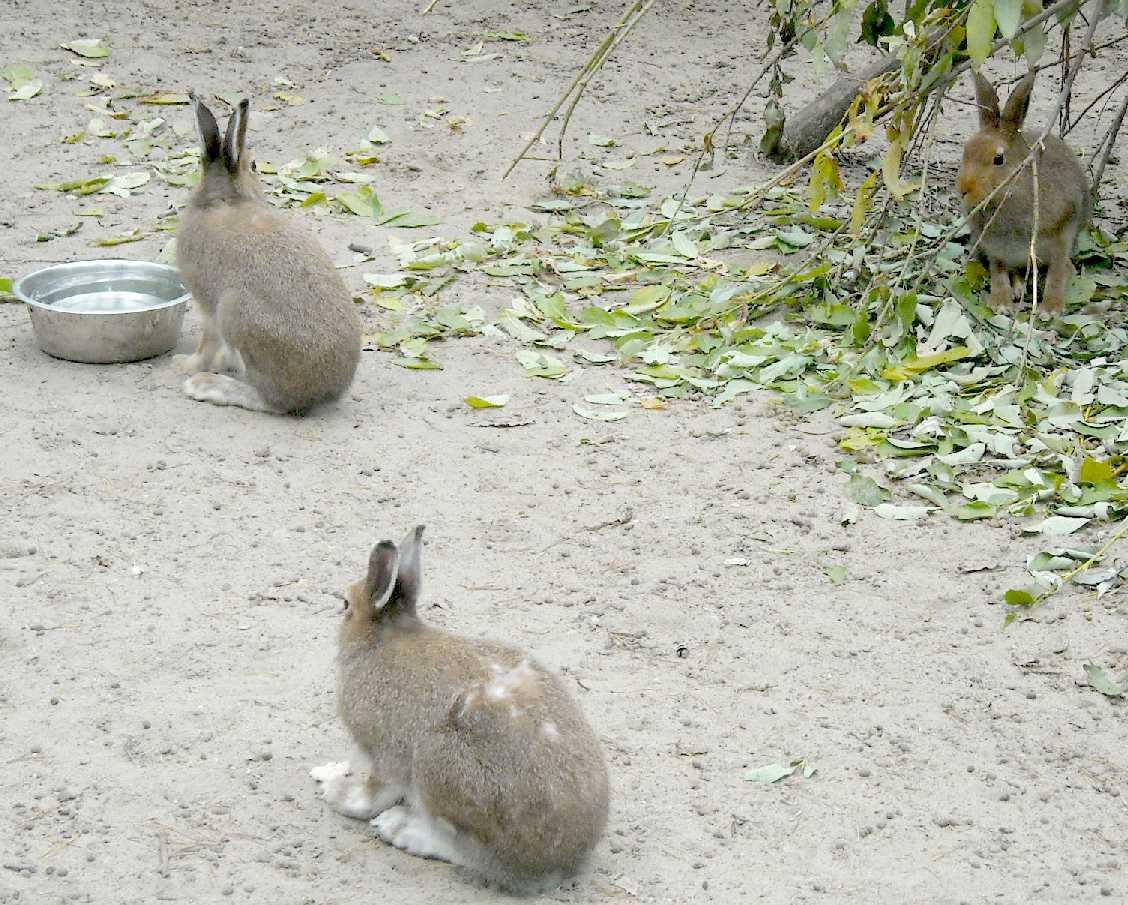 Заяц-беляк - Lepus timidus  (фото 8786)