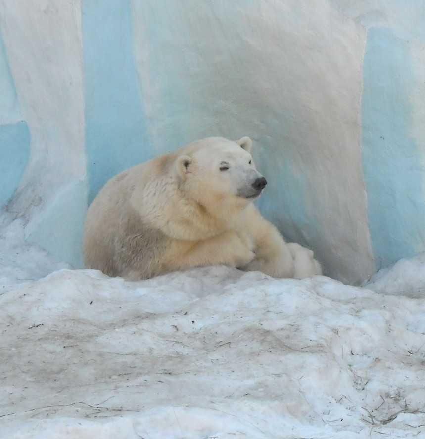 Белый медведь - Ursus maritimus  (фото 8818)