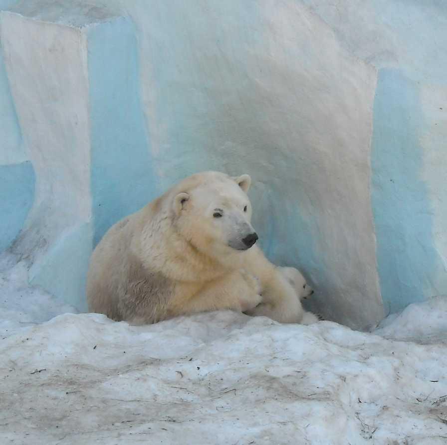 Белый медведь - Ursus maritimus  (фото 8819)