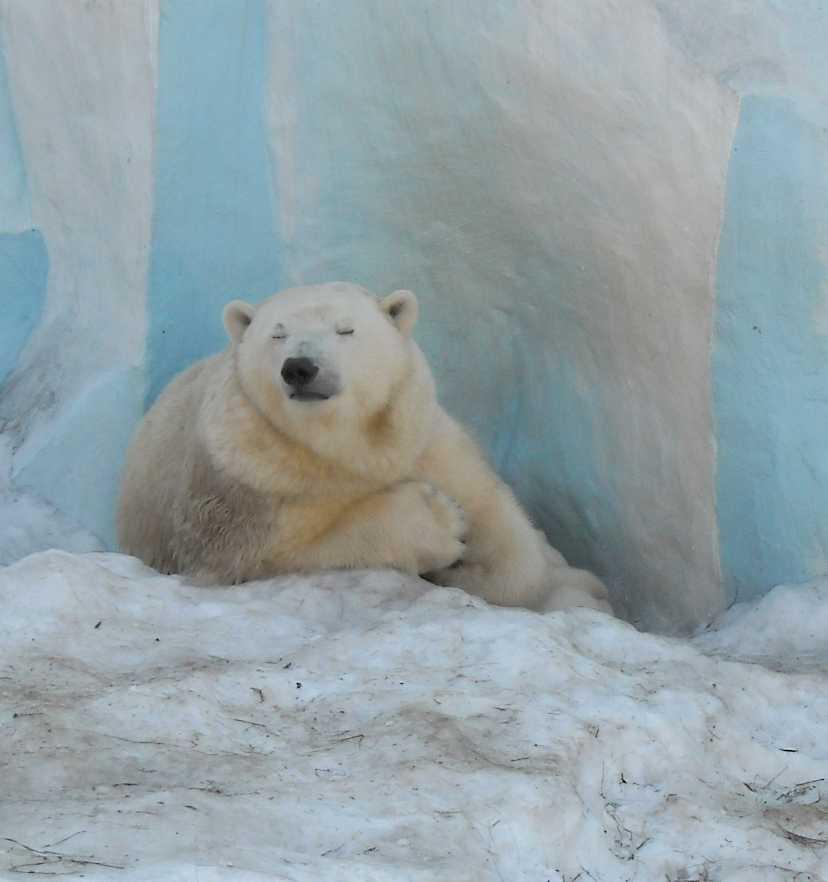 Белый медведь - Ursus maritimus  (фото 8820)