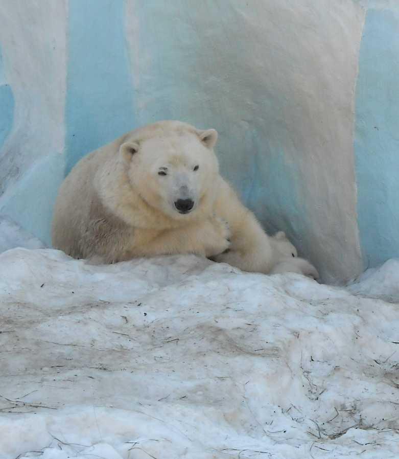 Белый медведь - Ursus maritimus  (фото 8821)