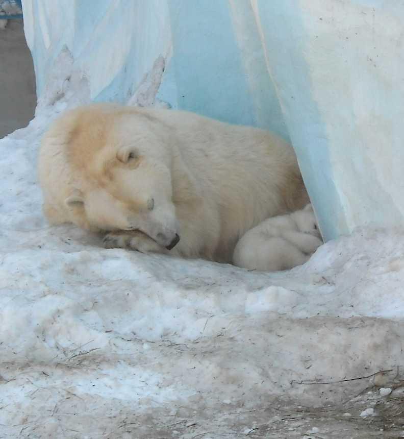 Белый медведь - Ursus maritimus  (фото 8822)