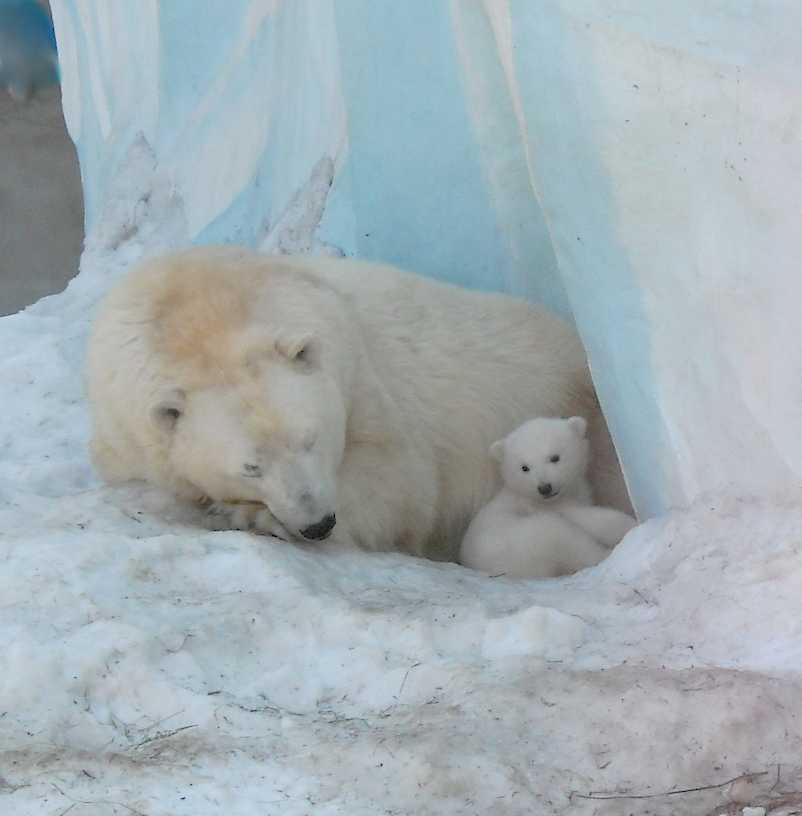 Белый медведь - Ursus maritimus  (фото 8823)