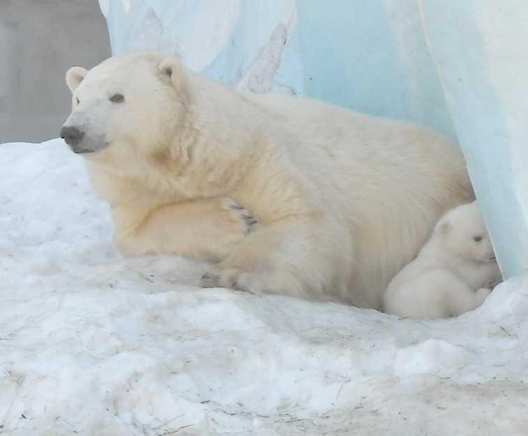 Белый медведь - Ursus maritimus  (фото 8825)