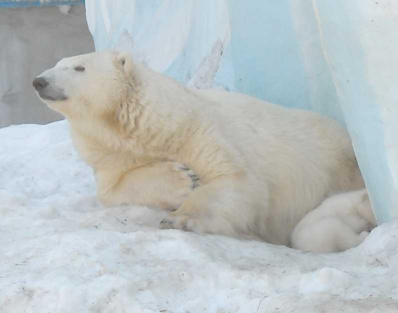 Белый медведь - Ursus maritimus  (фото 8826)