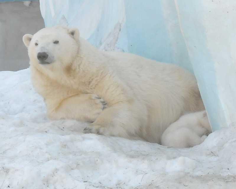 Белый медведь - Ursus maritimus  (фото 8827)