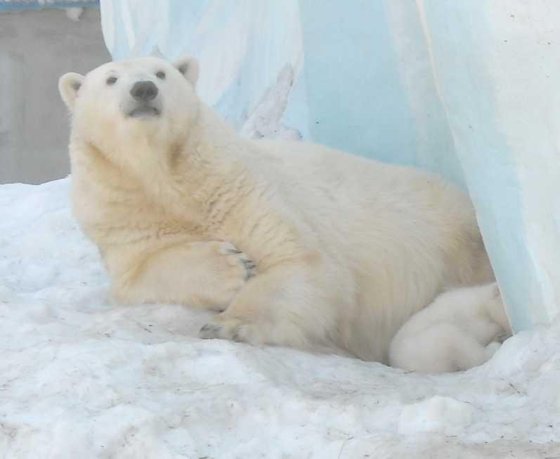 Белый медведь - Ursus maritimus  (фото 8828)