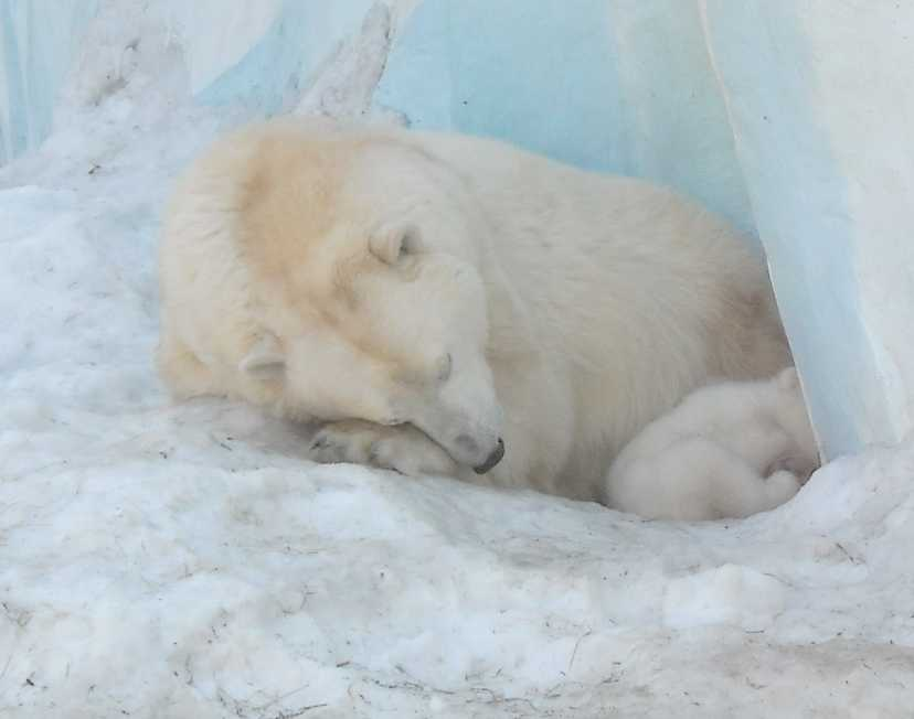 Белый медведь - Ursus maritimus  (фото 8829)