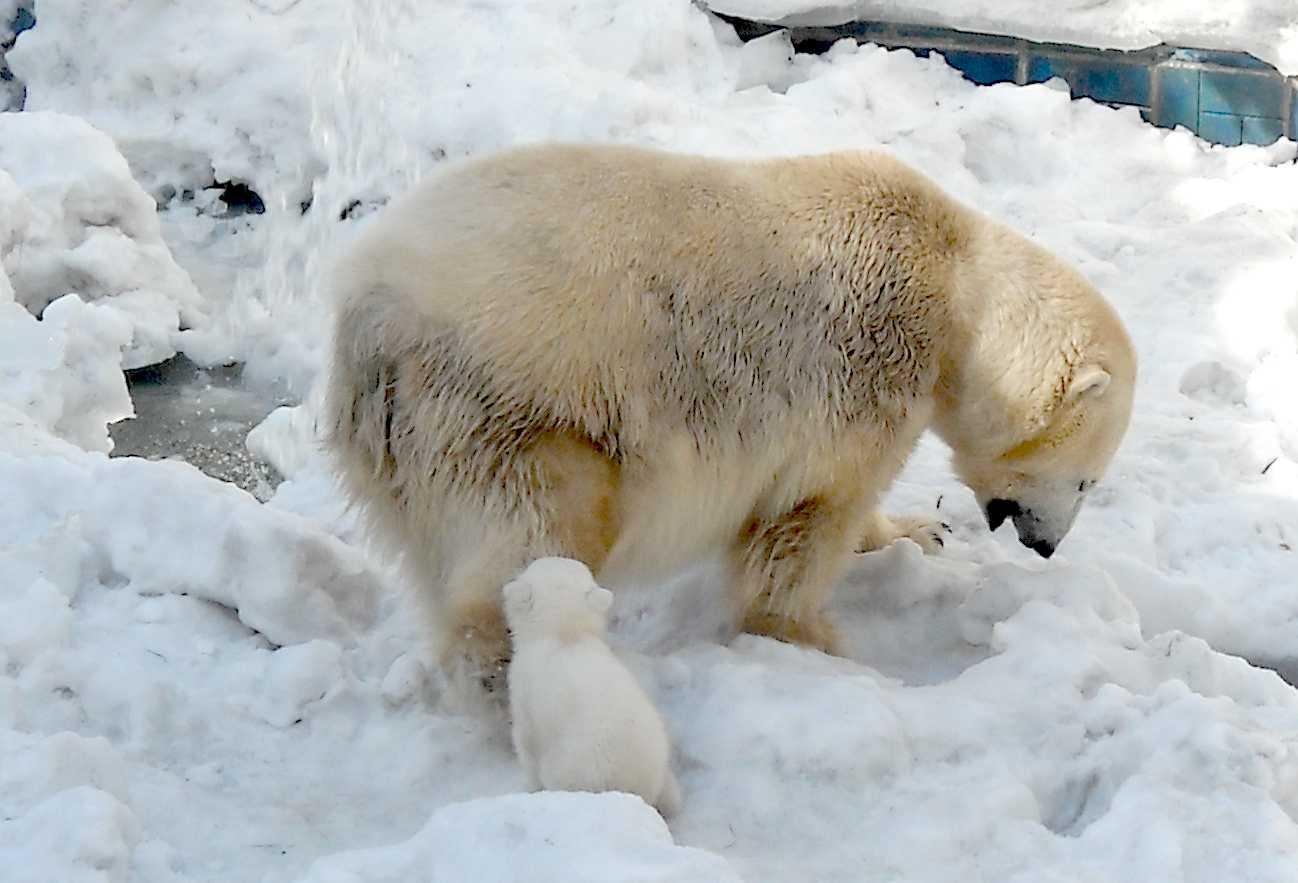 Белый медведь - Ursus maritimus  (фото 8870)
