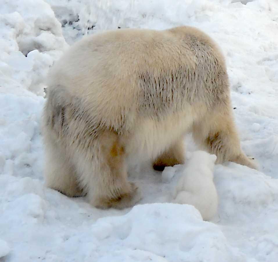 Белый медведь - Ursus maritimus  (фото 8872)