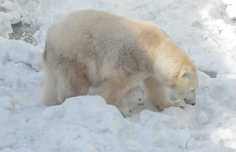Белый медведь - Ursus maritimus  (фото 8875)