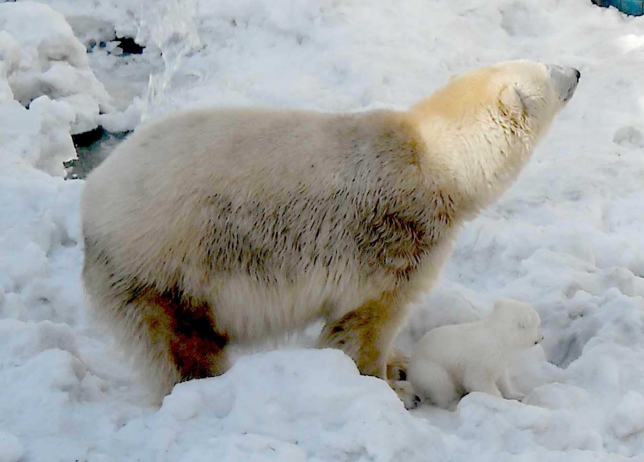 Белый медведь - Ursus maritimus  (фото 8877)