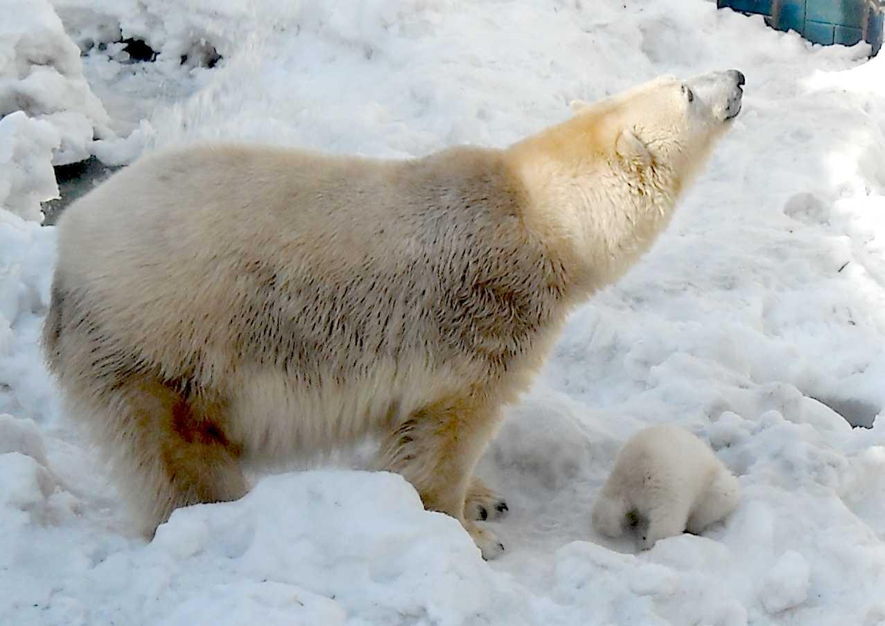 Белый медведь - Ursus maritimus  (фото 8878)