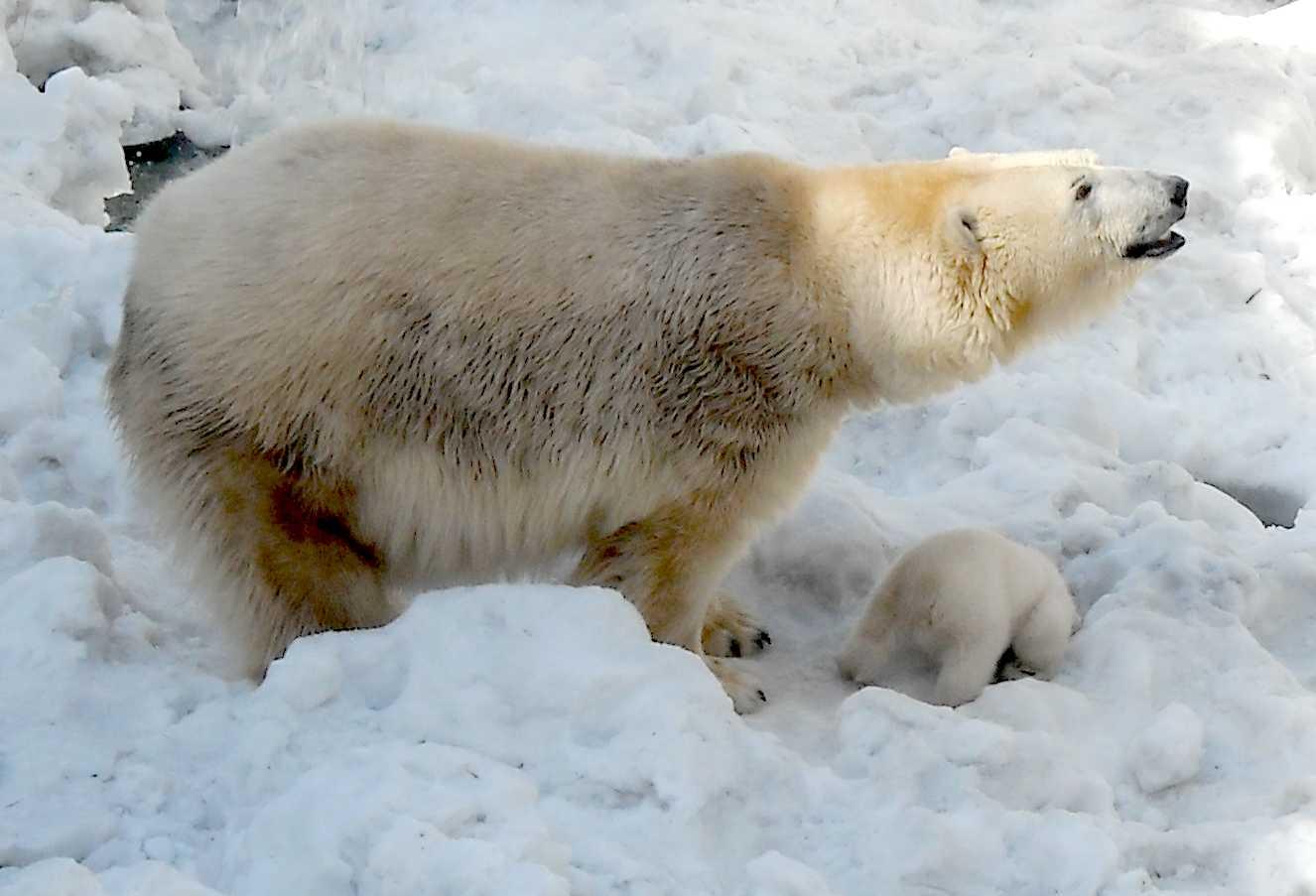 Белый медведь - Ursus maritimus  (фото 8879)