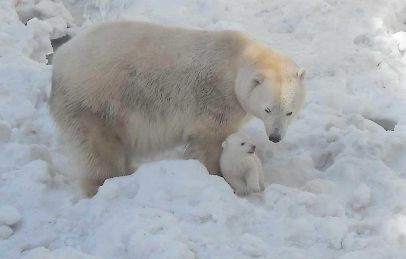 Белый медведь - Ursus maritimus  (фото 8880)