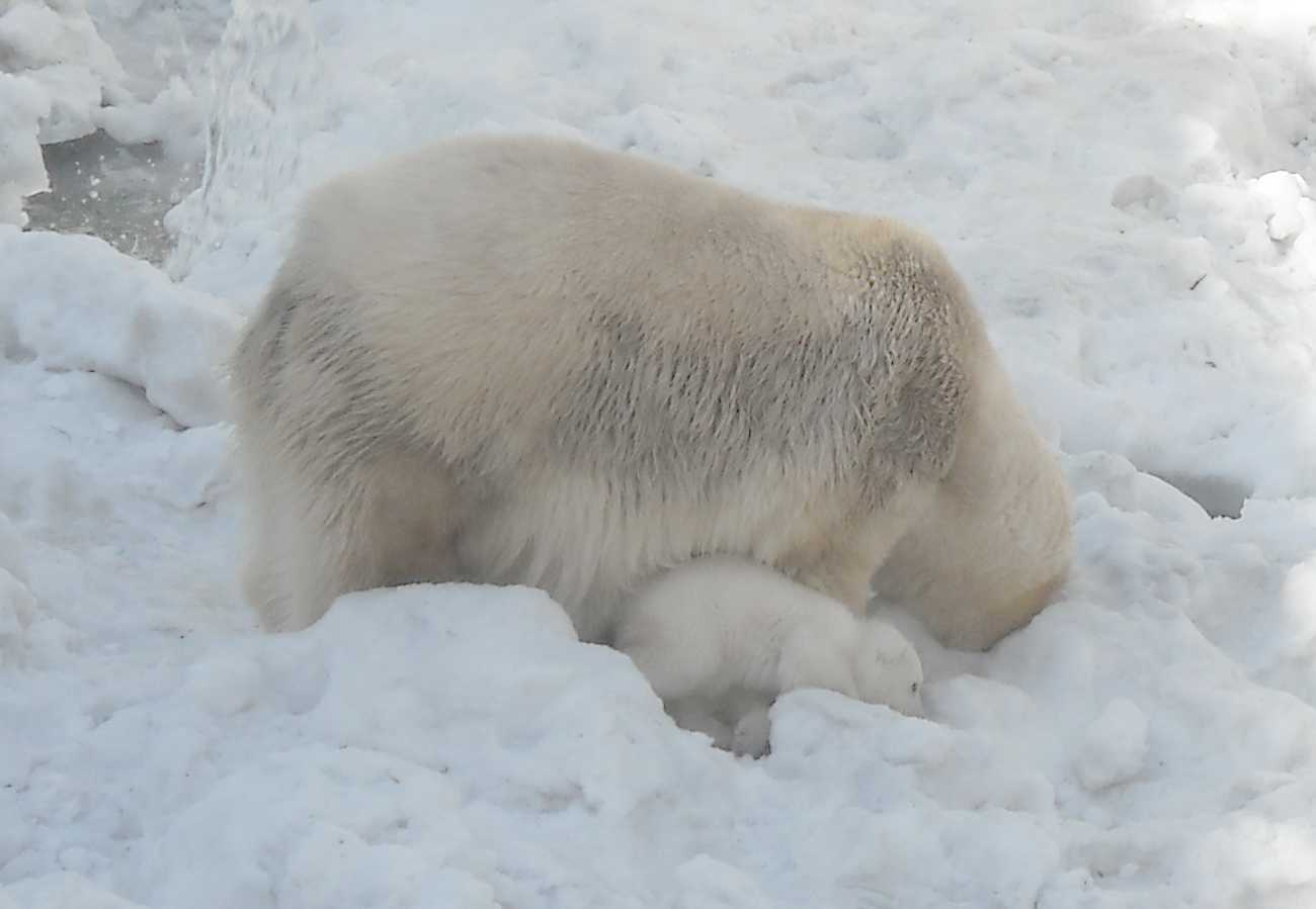 Белый медведь - Ursus maritimus  (фото 8881)