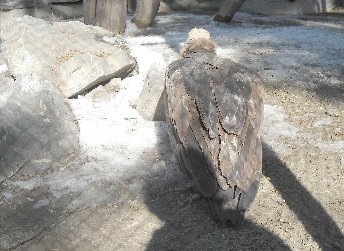 Орлан белоплечий - Haliaeetus pelagicus  (фото 8930)