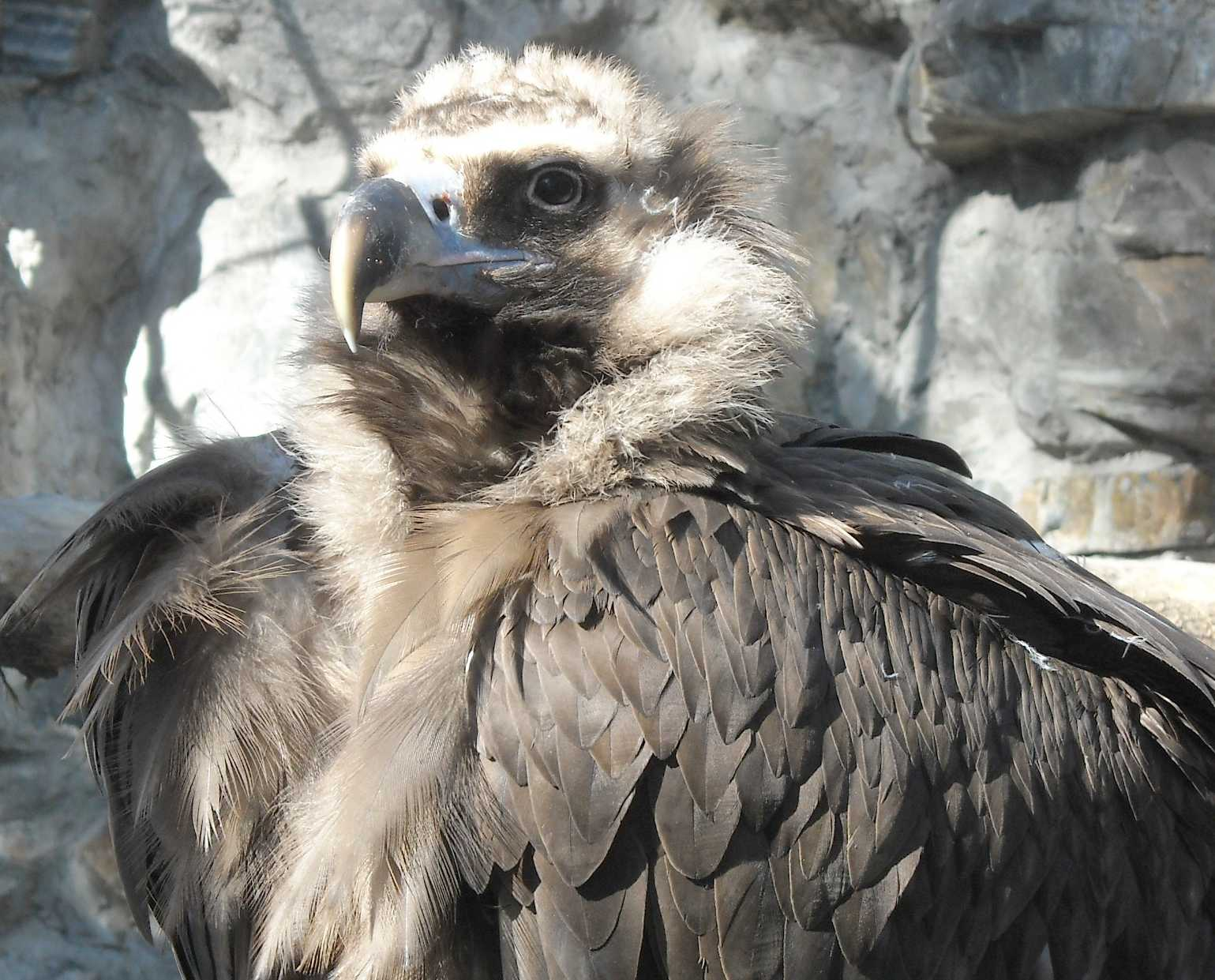 Орлан белоплечий - Haliaeetus pelagicus  (фото 8933)