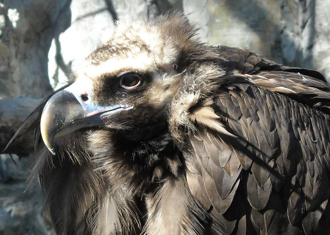 Орлан белоплечий - Haliaeetus pelagicus  (фото 8935)