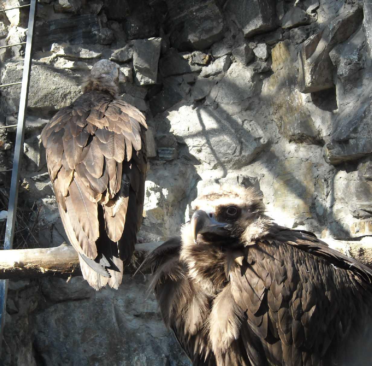 Орлан белоплечий - Haliaeetus pelagicus  (фото 8936)