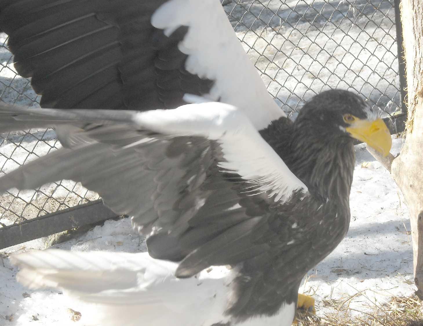 Орлан белоплечий - Haliaeetus pelagicus  (фото 8938)