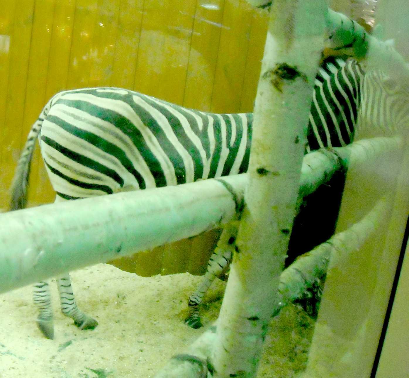 Зебра - Equus quagga  (фото 8982)