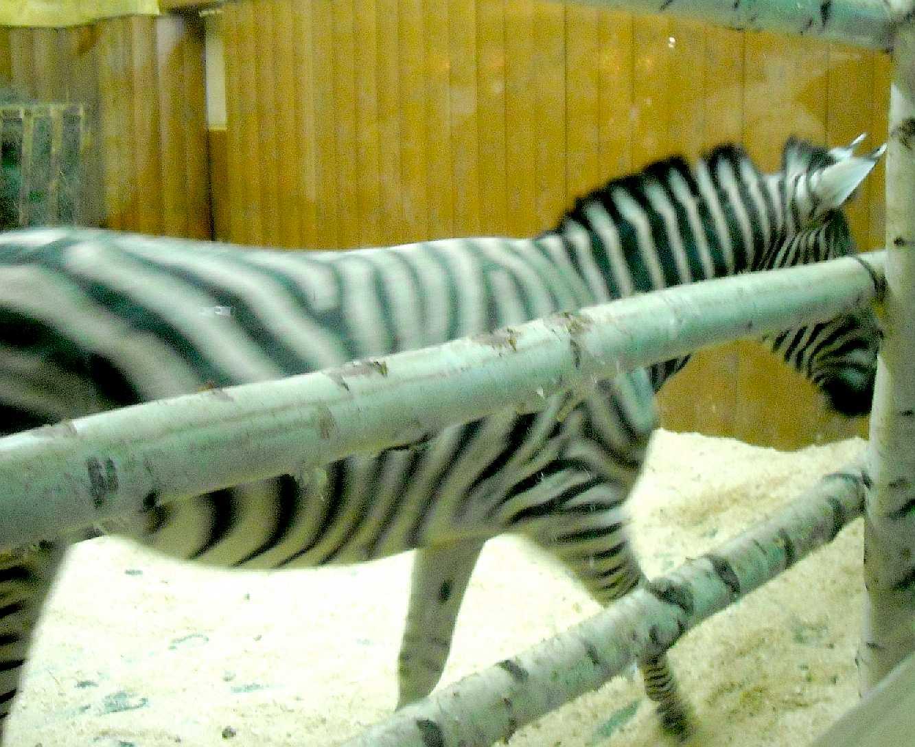 Зебра - Equus quagga  (фото 8984)