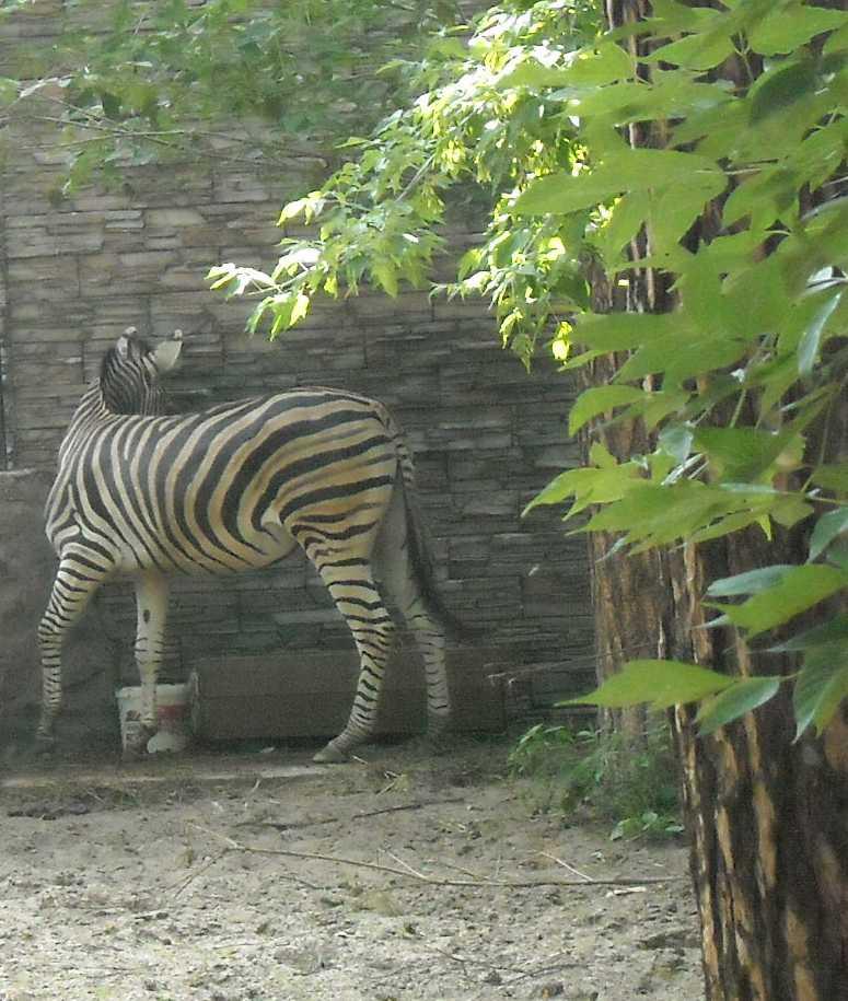 Зебра - Equus quagga  (фото 9030)